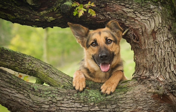 Picture face, tree, dog, shepherd, German shepherd
