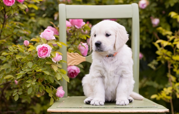Picture flowers, roses, dog, chair, puppy