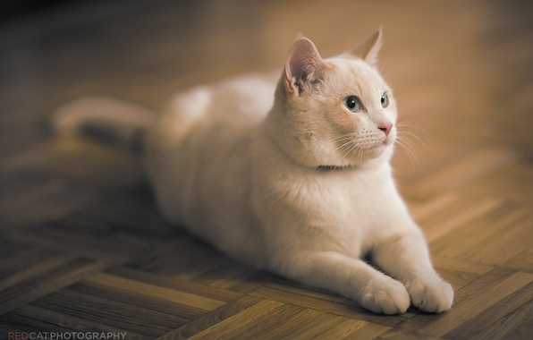 Picture cat, cat, face, stay, flooring, lies, white