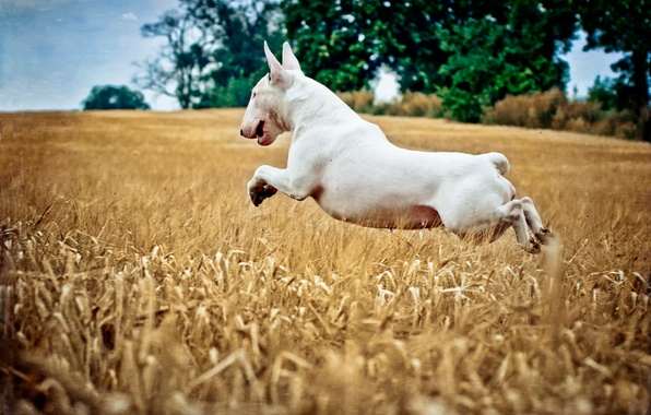 Picture field, jump, dog