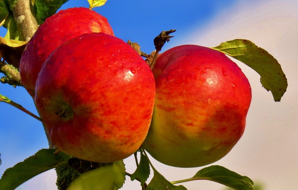 Picture the sky, apples, food, branch, garden, fruit