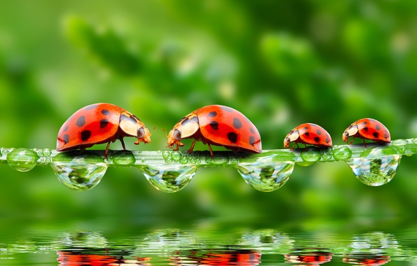 Picture greens, drops, macro, insects, Rosa, reflection, rendering, ladybugs, Wallpaper from lolita777