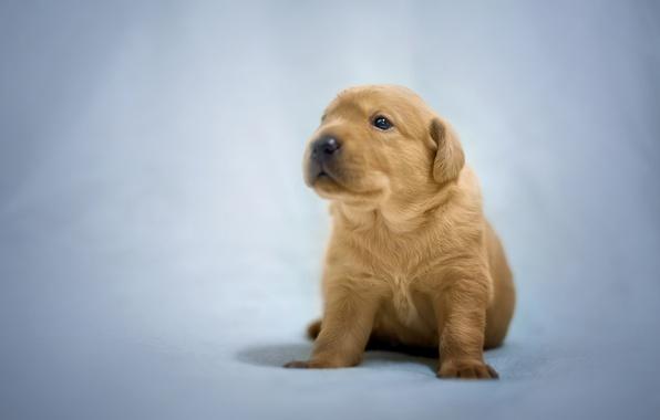 Picture background, dog, baby, puppy, Labrador Retriever