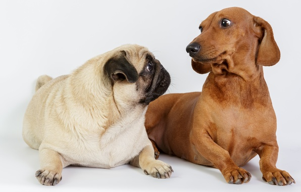 Picture photo, Dogs, Two, Animals, Dachshund, Pug