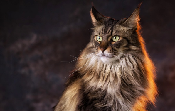 Picture cat, look, light, background, Cat, Maine Coon
