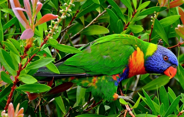 Picture leaves, branches, bird, parrot, Multicolor lorikeet