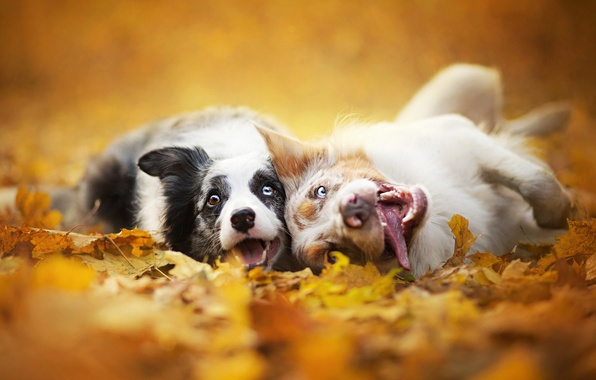 Picture autumn, dogs, leaves, nature, two, muzzle, Border collie