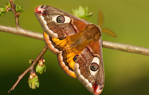 Picture macro, butterfly, branch, kidney, Small Emperor moth
