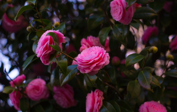 Picture leaves, flowers, branches, pink, Bush, flowering, a lot, Camellia