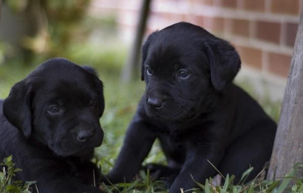 Picture black, Dog, puppies, Labrador, doggie, Retriever, happy