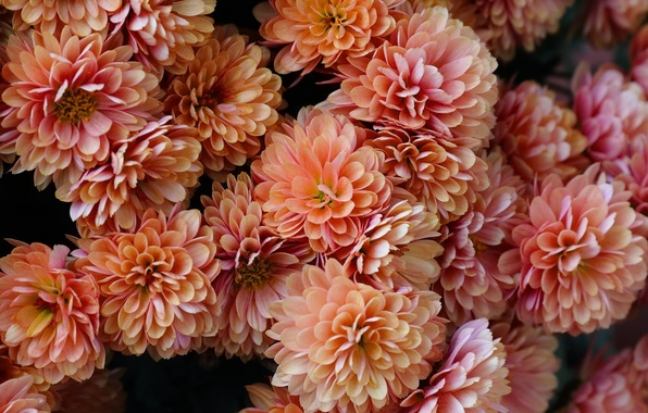 Picture petals, chrysanthemum, a lot