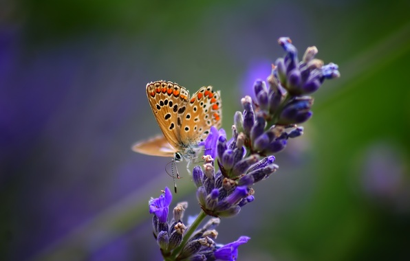 Picture flower, macro, nature, butterfly, plant, insect, lavender
