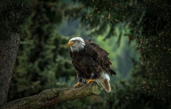 Picture tree, bird, predator, pine, hawk, Bald eagle