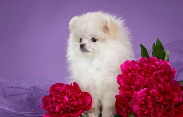 Picture white, puppy, peonies, Spitz