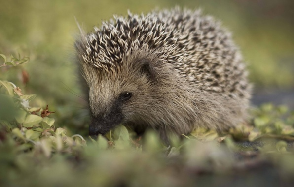 Picture grass, eyes, barb, muzzle, hedgehog