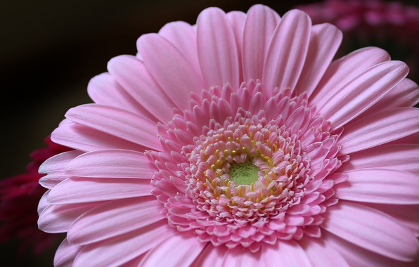 Picture flower, pink, petals, flower, pink, petals, Gerbera, gerbera