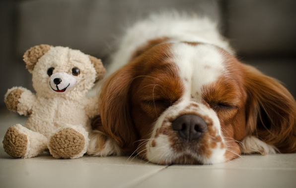 Picture toy, sleep, dog, bear, Teddy bear, sleeping, The cavalier king Charles Spaniel