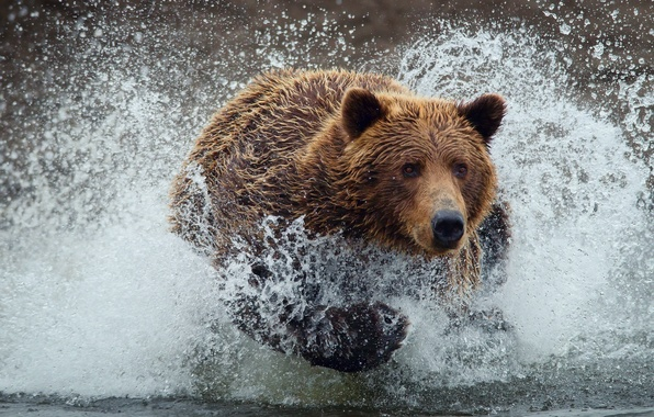 Picture water, drops, squirt, wet, bear, bear