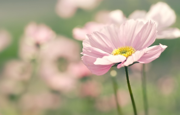 Picture flower, summer, macro, flowers, nature, pink, focus, blur, petals, kosmeya
