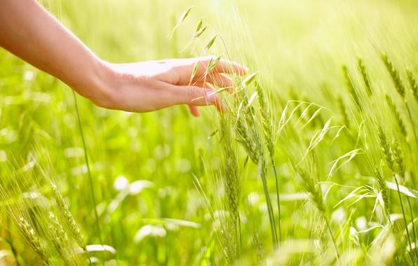 Picture field, rye, hand, oats