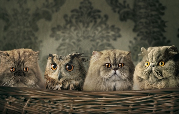 Picture Koshak, owl, Wallpaper, Basket