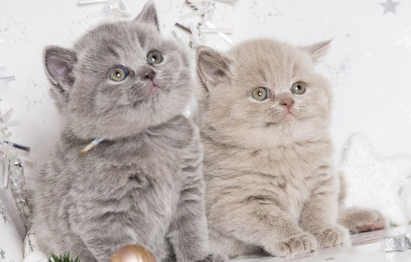 Picture background, pair, kittens, seals