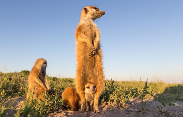 Picture meerkats, cub, stand