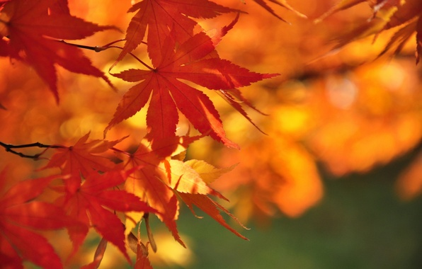 Picture autumn, leaves, nature, branch, maple