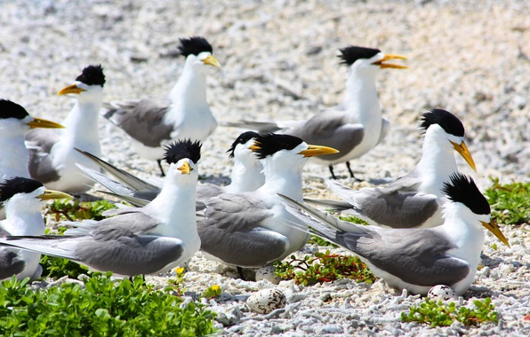 Picture birds, pack, laying eggs, large crested terns