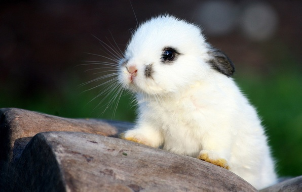 Picture white, rabbit, baby, ears, rabbit