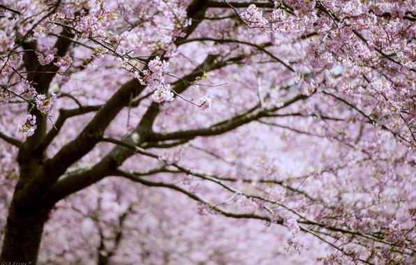 Picture branches, tree, pink, spring, Sakura, flowering