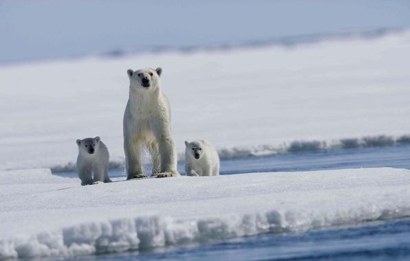 Picture sea, floe, bears, polar bear, Arctic