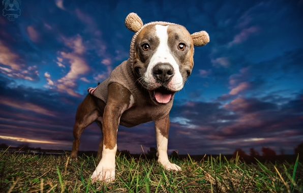 Picture the sky, face, clothing, dog, pit bull