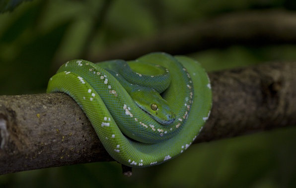 Picture snake, branch, scales, Python, green