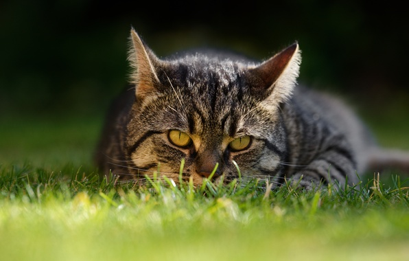 Picture cat, grass, cat, look, muzzle