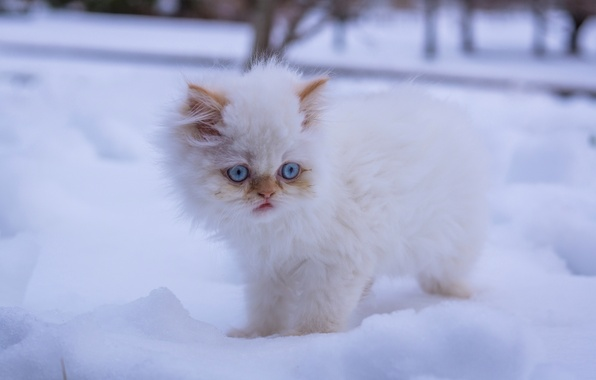 Picture winter, white, snow, fluffy, kitty, blue eyes