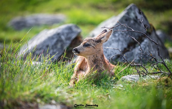 Picture grass, face, lies, cub, fawn, hid