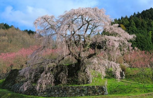 Picture greens, grass, trees, landscape, flowers, stones, tenderness, beauty, spring, Japan, Japan, path, cherry blossoms, sakura, …