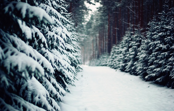 Picture winter, forest, nature, trail, ate, track, pine, tree, Poland, poland