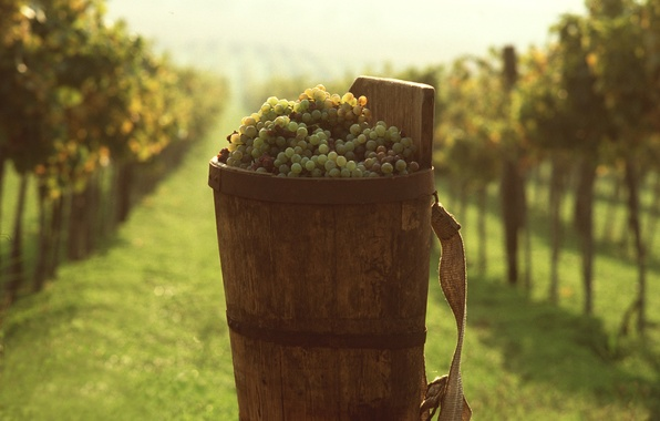 Picture grapes, bucket, vineyard, Food