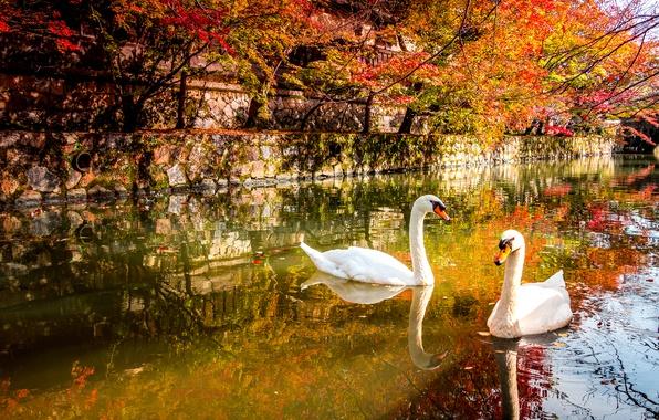 Picture autumn, birds, pond, Park, Swan