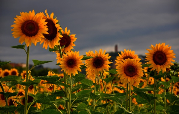Picture field, summer, the sky, flowers, nature, Sunflowers, grey