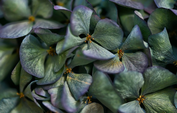 Picture flowers, petals, hydrangea, inflorescence