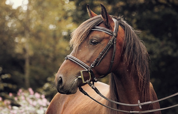 Picture horse, bokeh, harness