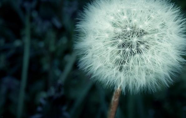 Picture grass, dandelion