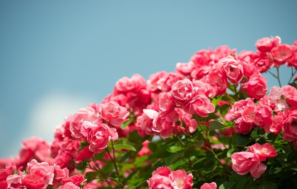 Picture the sky, flowers, background, widescreen, Wallpaper, roses, garden, beautiful, wallpaper, flowering, sky, widescreen, flowers, beautiful, …