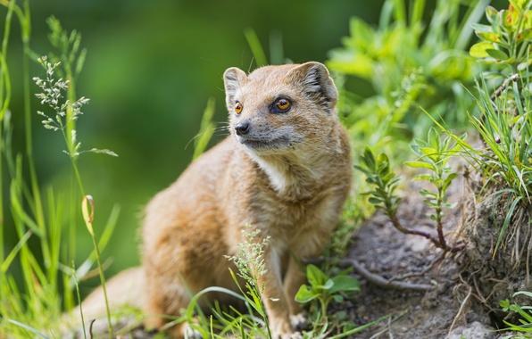 Picture grass, look, predator, mongoose, ©Tambako The Jaguar