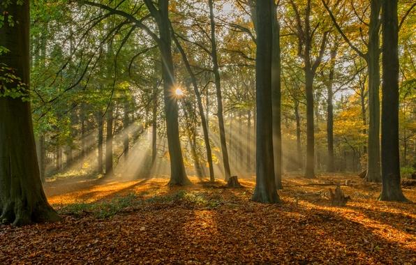 Picture autumn, forest, leaves, rays, trees, Belgium, Belgium, Bruges, Brugge