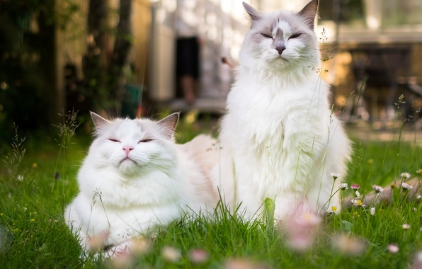 Picture cat, cat, a couple, family portrait, Ragdoll