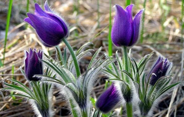 Picture flower, purple, sheet, plant, stem, villi, sleep-grass